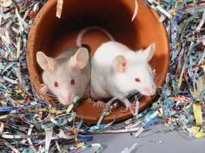 Как содержать белую мышь