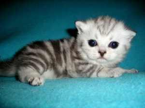 Вислоухая породя британского котенка