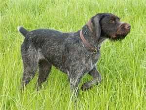 Тип шерсти собак дратхаар