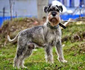 Характеристика собак породы Миттельшнауцер