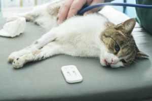 Заболевание чумка у кошек