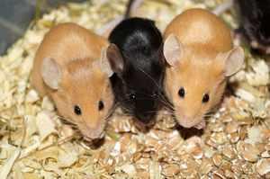 Условия для содержания декоративной мыши