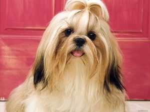 Собака ши-тцу