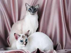 Порода домашних кошек