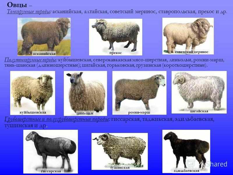 Характеристика породы овец