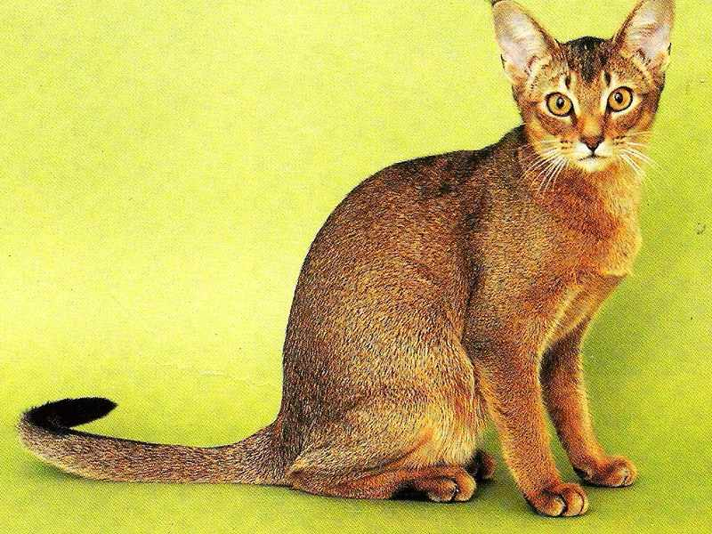 Тип шерсти у кошек
