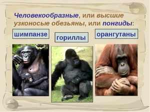 Виды человекоподобных обезьян