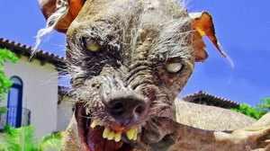Самой страшной собакой в мире считается китайская хохлатая Сэм