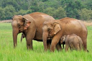Особенности жизни слонов