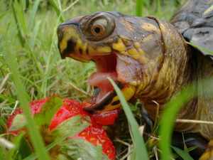 Питание среднеазиатской черепахи