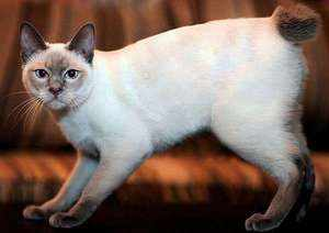 Белый кот меконгского бобтейла