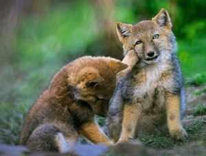 Детеныши тибетской лисы