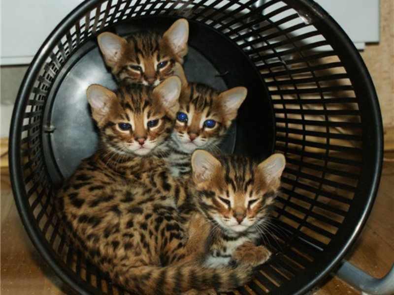 Бенгальские котята спрятались