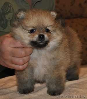 Собака породы Карликовый померанский шпиц