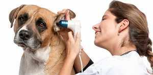 Отит у собак как проявляется