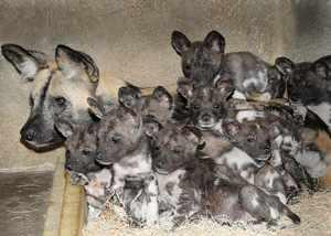 Самка гиеновидной собаки с потомством