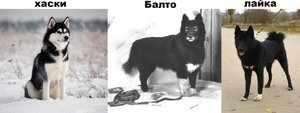 Виды собаки хаски