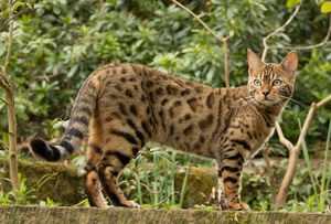 Эксклюзивные порды кошек