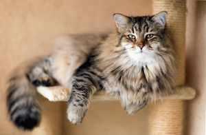 Сибирская кошка - особенности характера