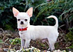 Чихуахуа общительная собачка