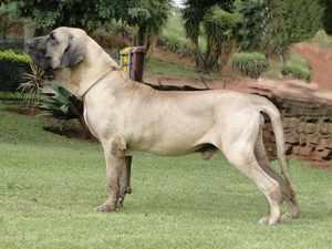 Описание породы собак фила бразилейро