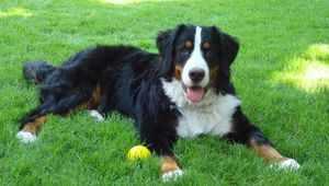 Какие повадки у собак Бернский зенненхунд
