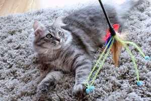 Сибирская кошка охотится на игрушку