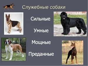 Служебные породы собак коллаж