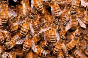 Пчелиная семья в улье