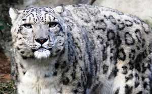 Ценный житель природы Байкала - ирбис