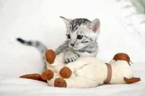 Маленький бенгальский котенок играется