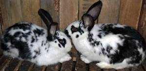 Кролики породы Бабочка - содержание
