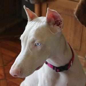 голубые глаза собак