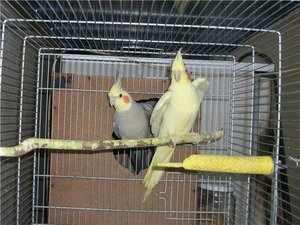Попугаи с хохолком