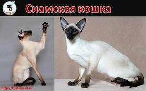 Как выглядит сиамская кошка