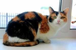 Трёхцветная кошка в квартире
