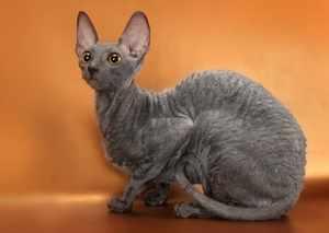 Симпатичная кошка Корниш-рекс