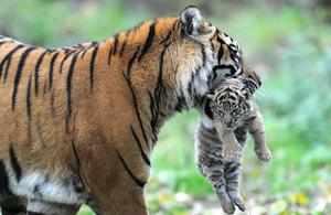 Выведение потомства тиграми