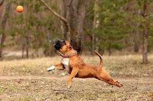 Стаффордширский английский бультерьер играет в мяч с хозяином
