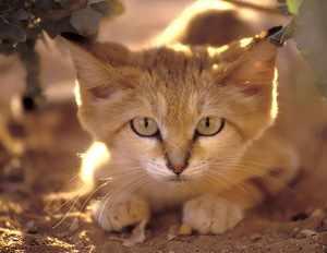 Описание внешности бархатной кошки