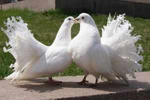 Голуби Павлины - разумные птицы