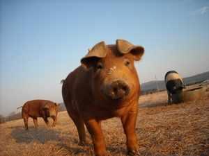 Свинка дюрок