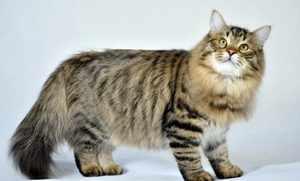 Сибирская кошка - содержание и уход