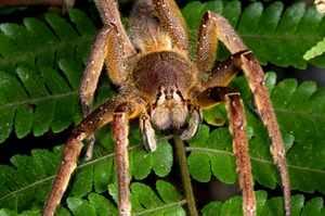 Бразильский паук