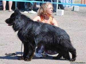 Черная длинношёрстная немецкая овчарка на выставке
