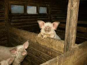 Домашние свиньи