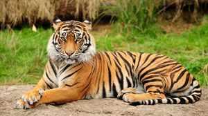 Амурский тигр - самый большой дикий кот