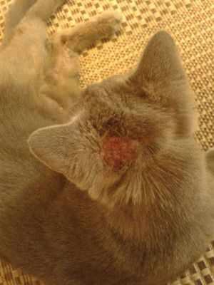 Как лечат аллергию у кошек