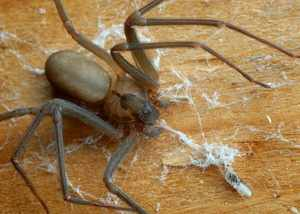паук-отшельник образ жизни и размножение
