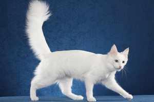 Турецкая ангора восточная кошка